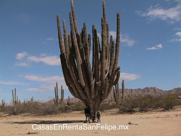 A Brief History of El Cardón de San Felipe Baja Mexico Image-1